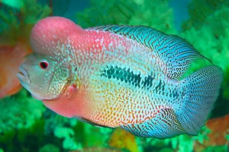 хорн или шелковая рыба