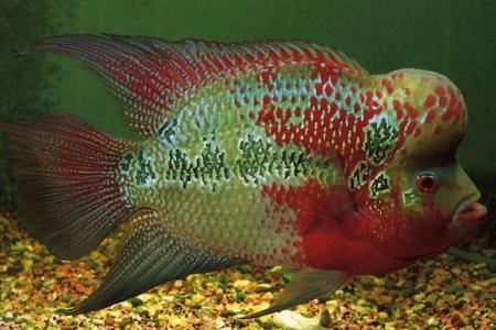 хорн король аквариума