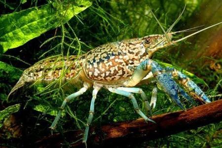 серо-пятнистый рак среди растений в аквариуме