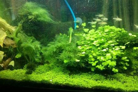 аквариум с нитчатыми водорослями