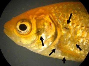 карпоед на теле рыбки