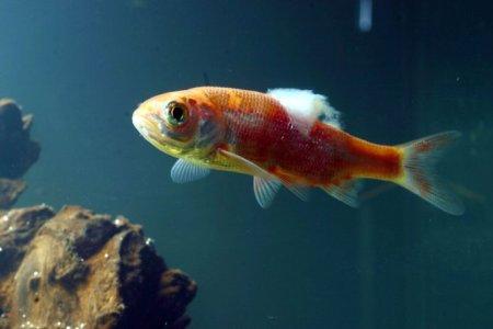 дерматомикоз или сапролегния у рыбки