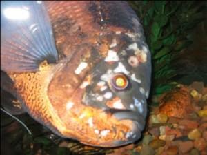 рыбка больная гексамитозом