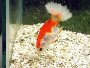 рыбка больная дерматомикозом