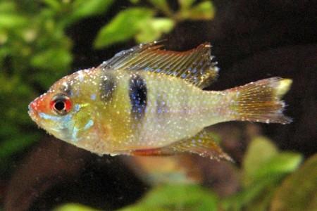 аквариумная рыбка больная манкой