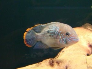 белые точки у аквариумной рыбки