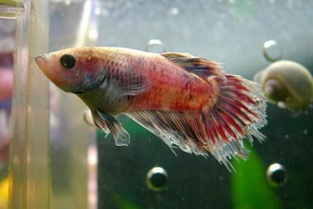 рыбка болеющая плавниковой гнилью