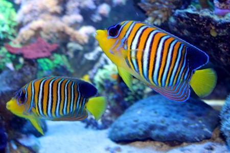 королевские ангелы в аквариуме