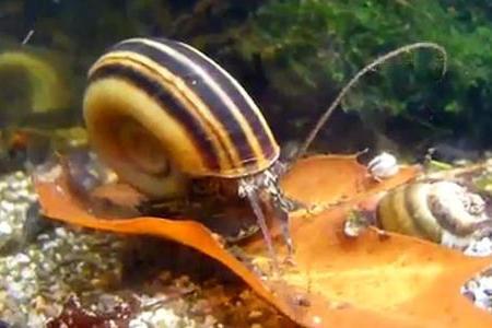 красивая аквариумная улитка