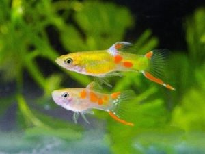 рыбки гуппи эндлера вида голд