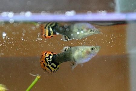 рыбка гуппи в отсаднике
