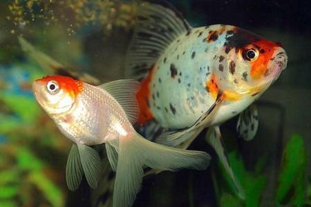 золотые рыбки шубункин