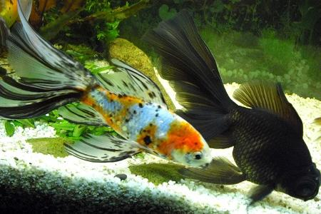 золотые рыбки шубункин и телескоп в аквариуме
