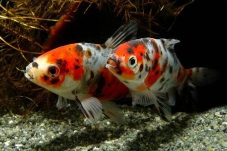 пара рыбок шубункин в аквариуме