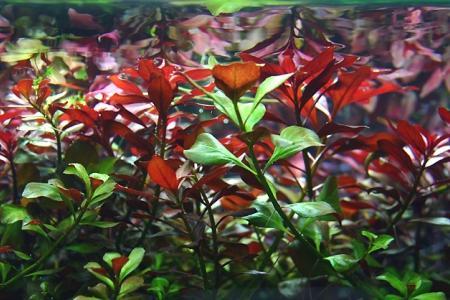 людвигия ред даймонд в аквариуме