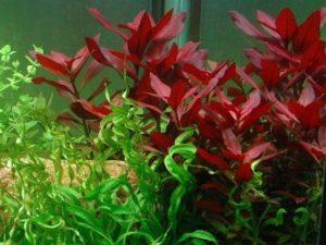 людвигия рубин в аквариуме