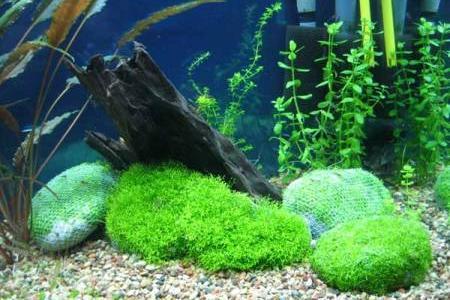 оформление аквариума с помощью риччии