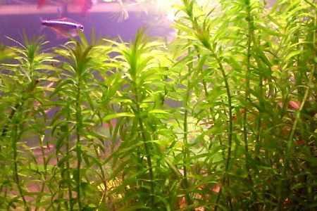 зубчатая элодея в аквариуме