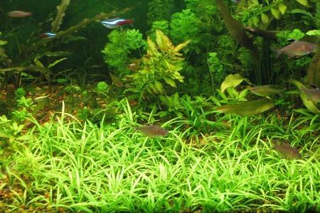 карликовый стрелолист в аквариуме