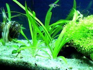 шиловидный стрелолист в аквариуме