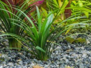 жестколистный стрелолист в аквариуме