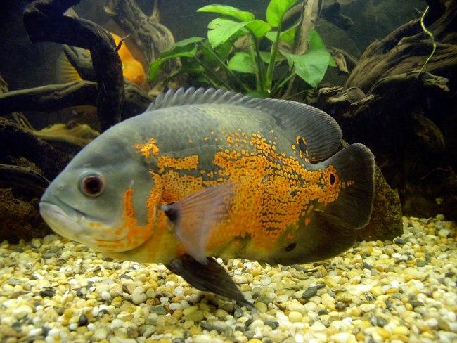 черно-оранжевый астронотус в аквариуме на фоне коряг и растений
