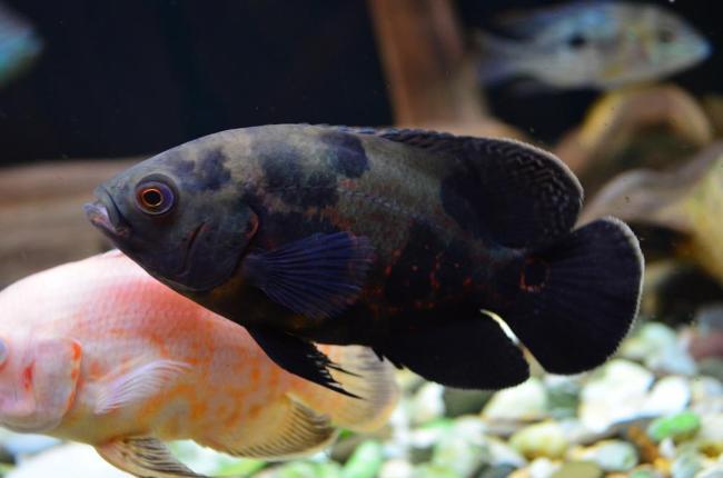 рыбки астронотусы плавают в аквариуме