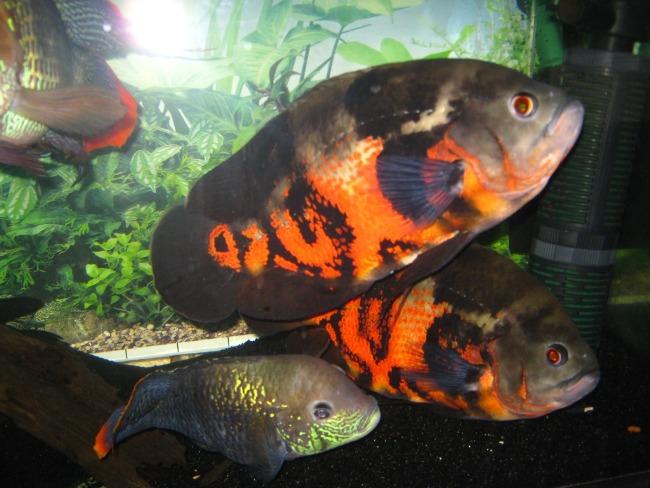 пара астронотусов черно-оранжевого цвета в аквариуме с другими рыбками