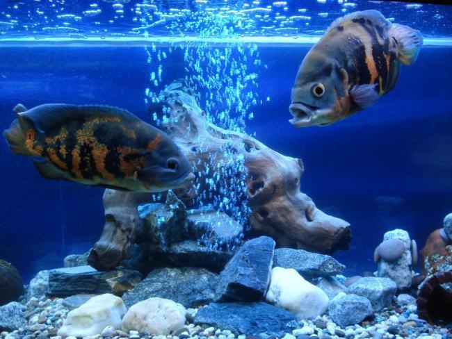аквариум с астронотусами