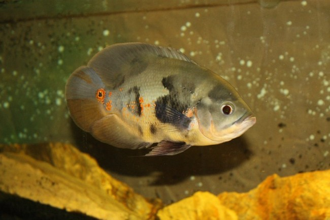 цихлида астронотус или оскар плавает в аквариуме