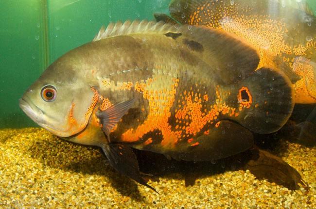 рыбка астронотус в аквариуме