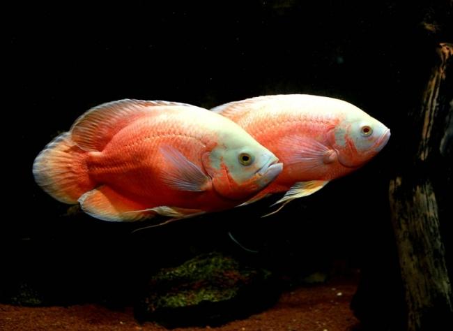 красно-белые астронотусы плавают в аквариуме