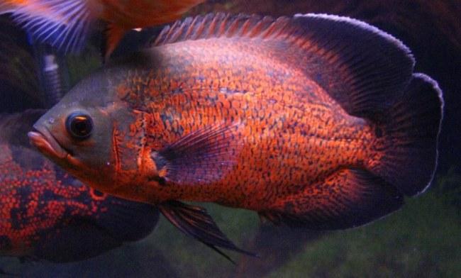 аквариумная рыбка астронотус черно-оранжевой окраски