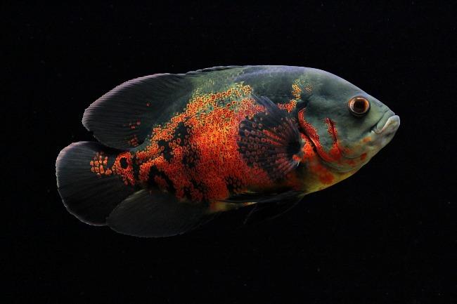 рыба семейства цихловых астронотус