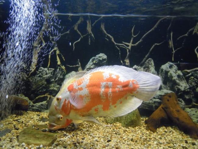 красно-белый астронотус в аквариуме на фоне коряг и камней