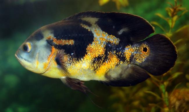 рыба астронотус плавает в аквариуме