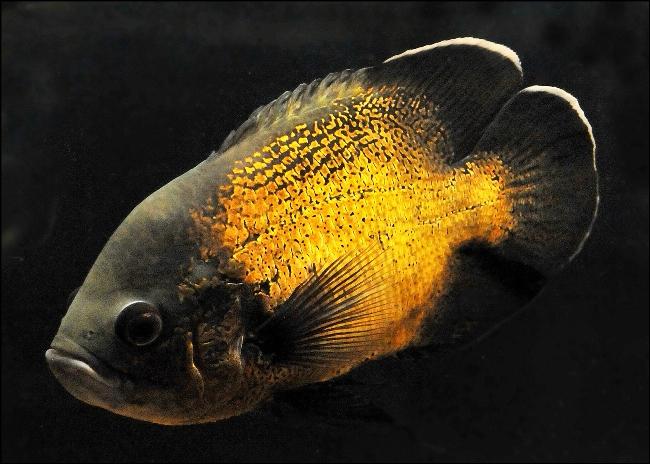 астронотус черно-золотой окраски