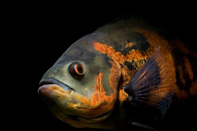 рыба семейства цихловых астронотус или оскар
