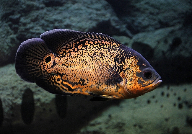 черно-золотой астронотус плавает в аквариуме на фоне камней