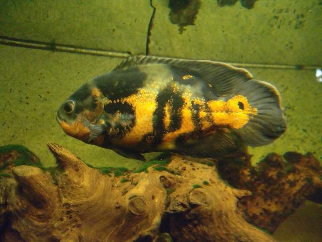 рыба семейства цихловых астронотус в аквариуме