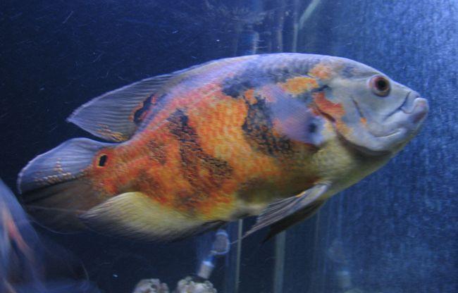 рыбка астронотус или оскар в аквариуме