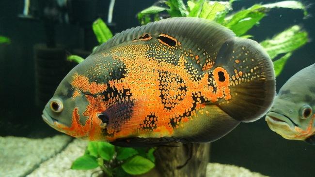 рыбка астронотус черно-оранжевого цвета в аквариуме