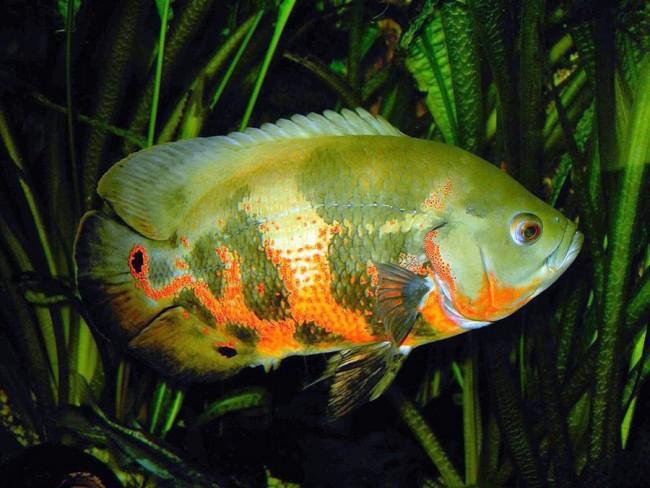 рыбка астронотус черно-оранжевого цвета плавает в аквариуме на фоне растений