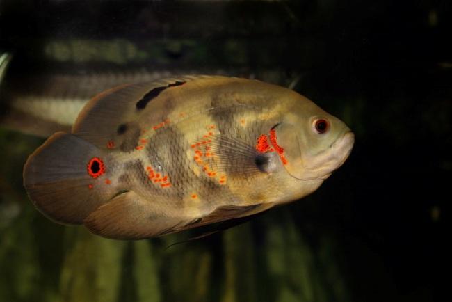 рыбка семейства цихловых астронотус плавает в аквариуме