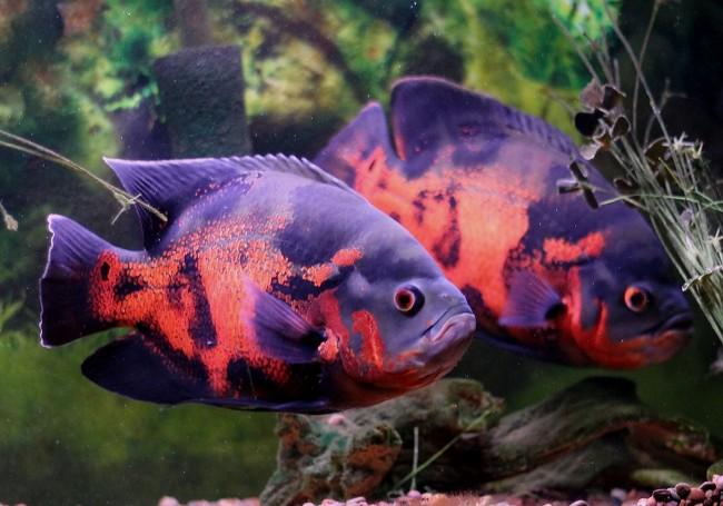 пара астронотусов черно-оранжевой окраски в аквариуме