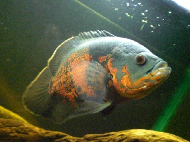 рыба астронотус или оскар в аквариуме