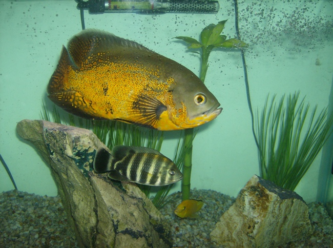 астронотус золотого цвета в аквариуме с другими рыбками