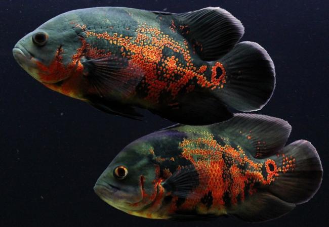 аквариумные рыбки астронотусы черно-оранжевого цвета