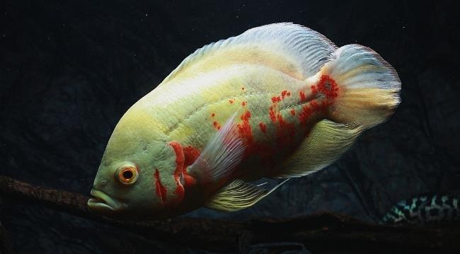 рыбка астронотус красно-белой окраски в аквариуме
