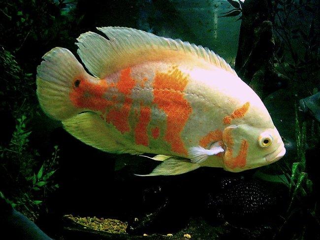 астронотус красно-белого цвета плавает в аквариуме